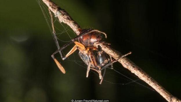 Formiga morta (Formicidae sp) infestada por fungo Ophiocordyceps