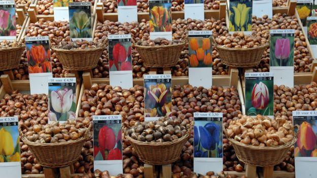 Bulbos de tulipa