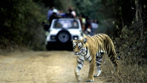 In this picture taken 22 January 2002, a tiger crosses the road in Ranthambore National Park in India's northwestern Rajasthan state