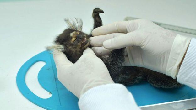 बंदर की जांच करते डॉक्टर