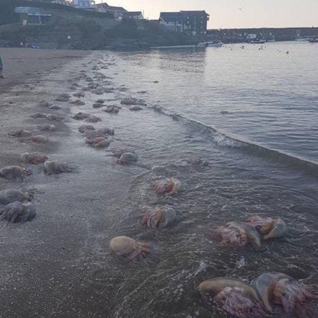Jellyfish in New Quay, Ceredigion
