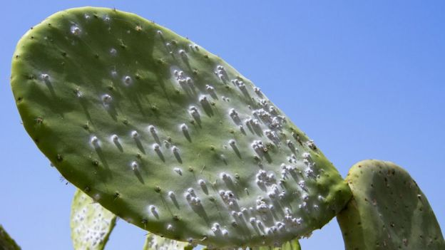 Cochineal on a cactus