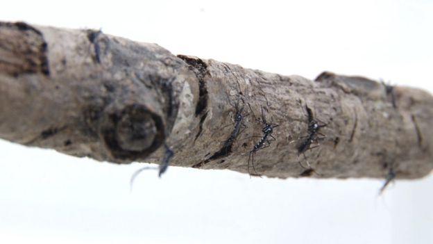 Mosquito silvestre