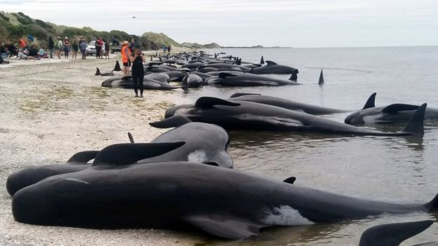 Whales are stranded at Farewell Spit near Nelson, New Zealand Friday, 10 February 2017.