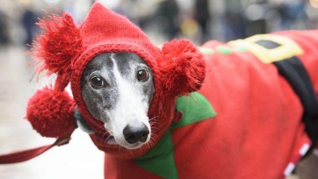 Um greyhound com fantasia de elfo