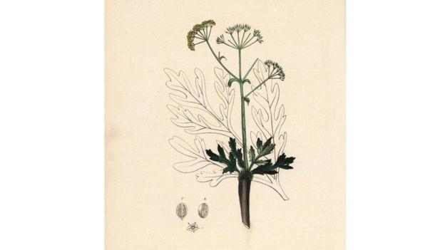Desenho de um silphium