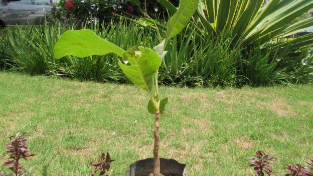 Un petit arbre de karité de quatre ans dans un jardin