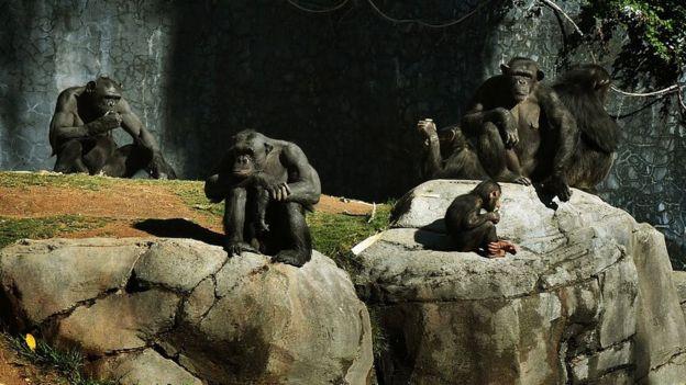 Grupo de chimpanzés
