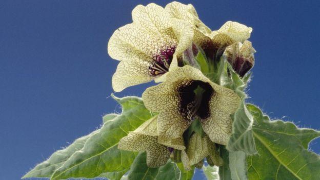 Hyoscyamus niger in flower