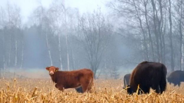 Cow among wild bison, Poland, November 2017