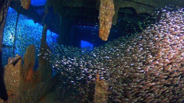 Restos del buque alemán Chrisoula K en el Mar Rojo son un hogar para cardúmenes de peces. Foto: Jordi Benitez