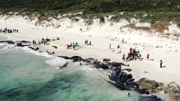 An aerial picture shows a line of dark coloured beached pilot whales along a beach in Western Australia