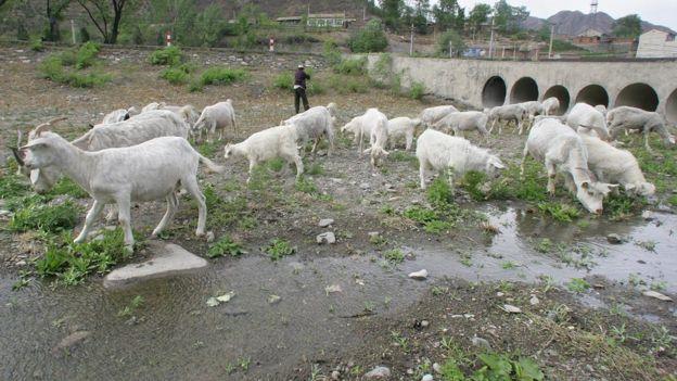 Cabras em leito de rio