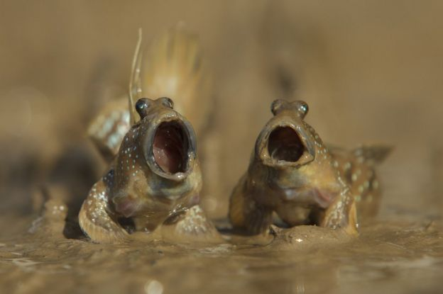 Amphibious fish. Photo: Daniel Trim.