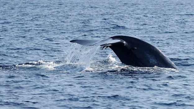 La cola de una ballena azul