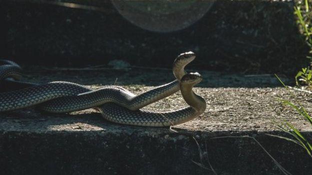 Serpientes aparéandose
