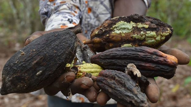 Fruit of the cacao tree.