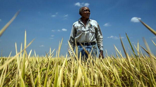 Campo de arroz en Venezuela