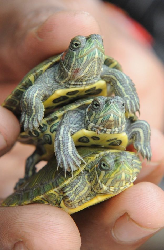 Three baby red eared slider turtles stacked in someone's hand