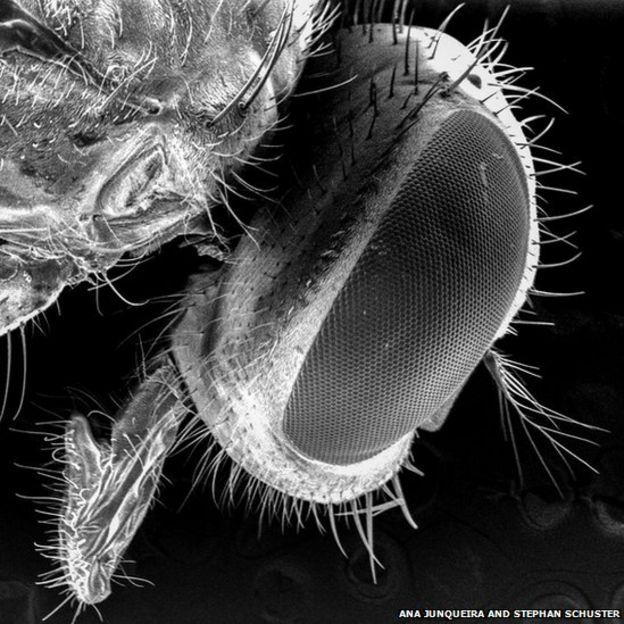 Голова мясной мухи под электронным микроскопом