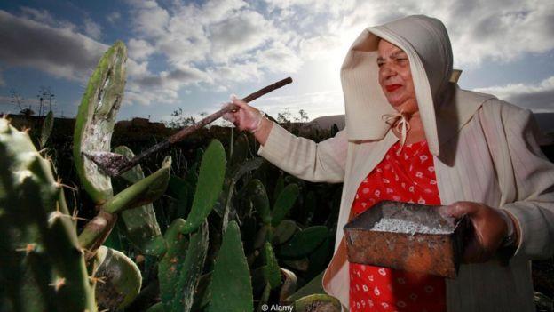 Una agricultora recoge las cochinillas de un cactus.