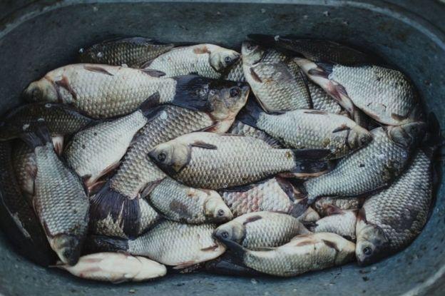 qadağan olunmuş zonadan tutlan balıqlar, Ukrayna, Çernobıl