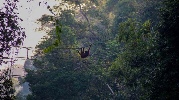 Orangutan insan yapımı köprüyü kullanırken
