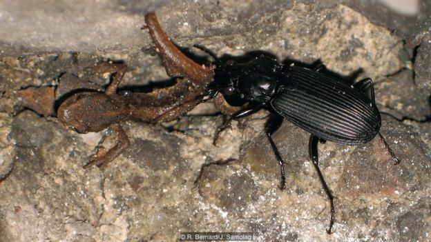 A beetle (Pterostichus niger) feeds on a hibernating newt (Credit: R. Bernard/J. Samolag)