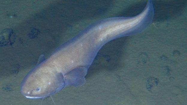 Un pez en el fondo marino de la zona Clarion-Clipperton