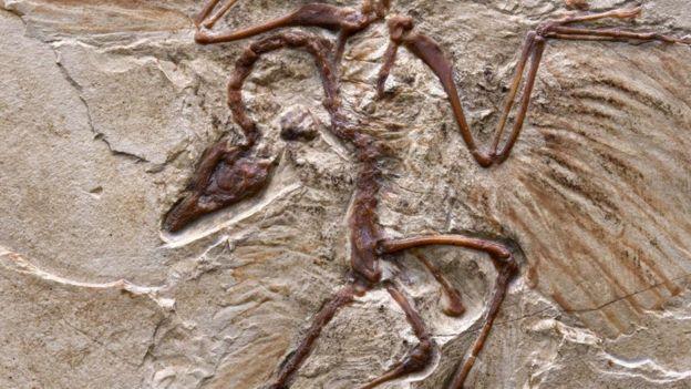 Fóssil de arqueoptérix