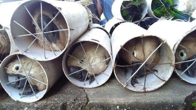 Kakatua putih yang terancam punah dimasukkan ke dalam pipa drainase yang disegel kawat.