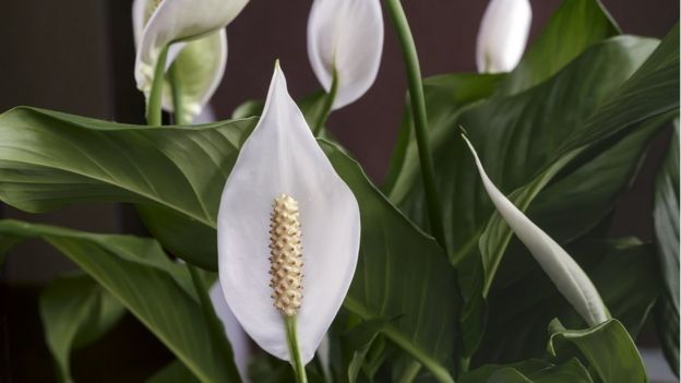 Spathiphyllum sp