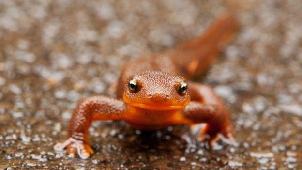 Salamandra de piel rugosa