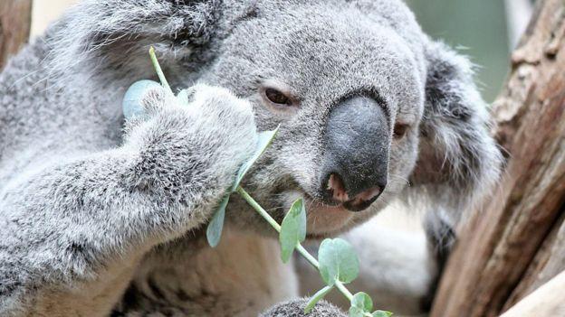 coala lanchando