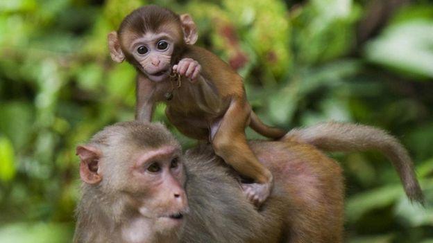 Kalori sınırlaması getirilen rhesus maymunları çok daha uzun yaşıyor.