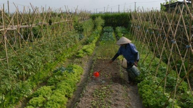 Ông Phương nói rau quả và cây trồng bị phân bón hóa học, thuốc trừ sâu hóa học trong thời gian dài