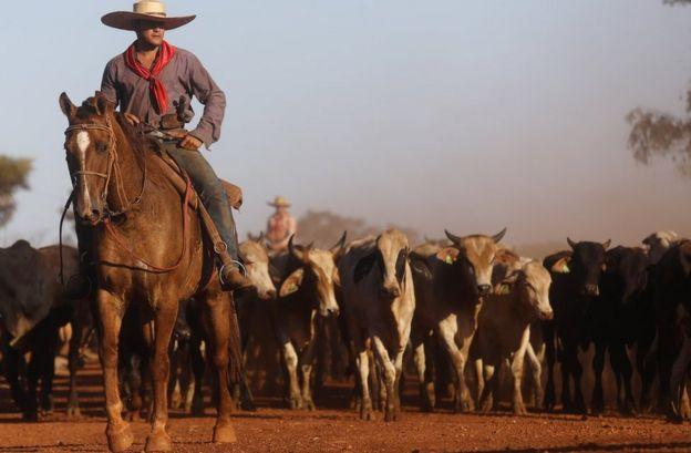 Amazonian cowboy leading cattle