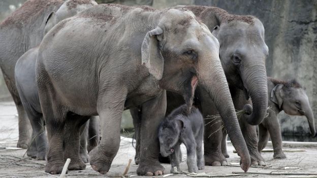 elephant newborn in company of adult elephants