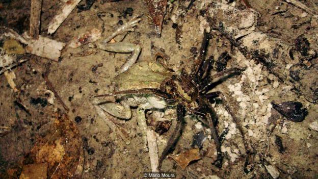 A giant fishing spider (Ancylometes rufus) eats an interior treefrog (Dendropsophus melanargyreus) (Credit: Mario Moura)