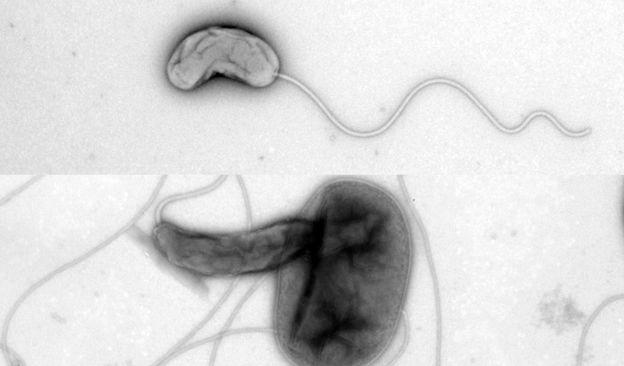 Bdellovibrio sólo y atacando a una bacteria