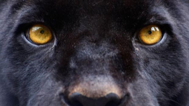 Ojos de una pantera