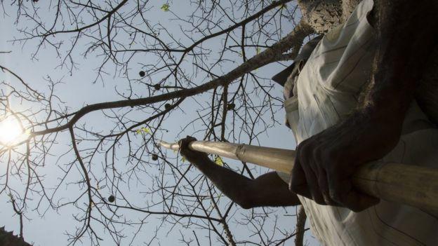 Imagem mostra homem colhendo frutos na Amazônia