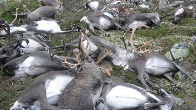 Renas mortas na Noruega