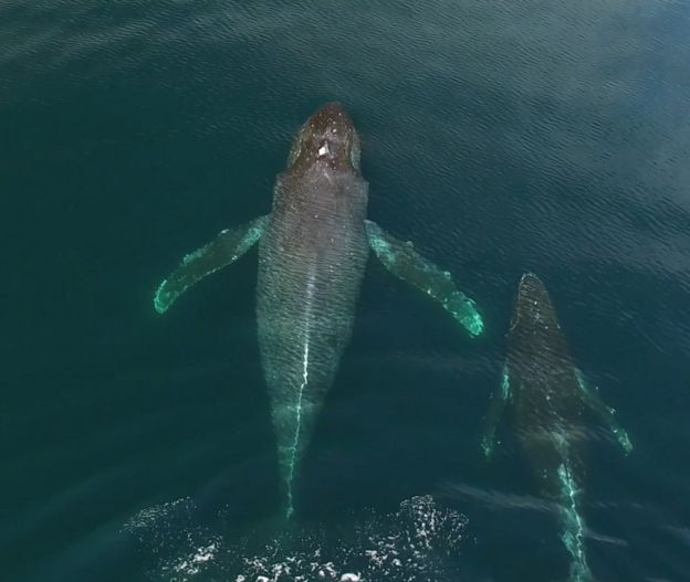 Ballena jorobada con su cría (Foto: Christian Miller / Ocean Alliance)