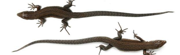 Lizards - generic photo