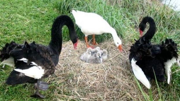 Thomas (white goose) and Henry and Henrietta (black swans)