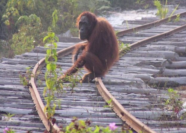 Bornean orangutan on train