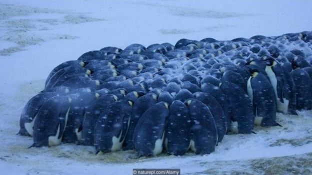 Pinguins-imperadores (Aptenodytes forsteri)