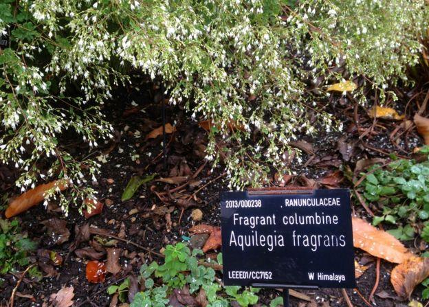 Himalayan plants growing at the Sheffield Botanical Gardens
