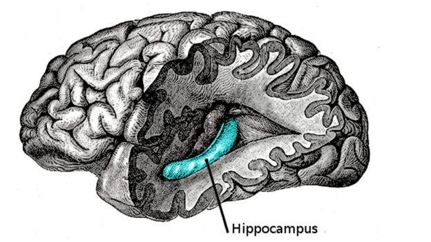 Hipocampo posición en el cerebro.